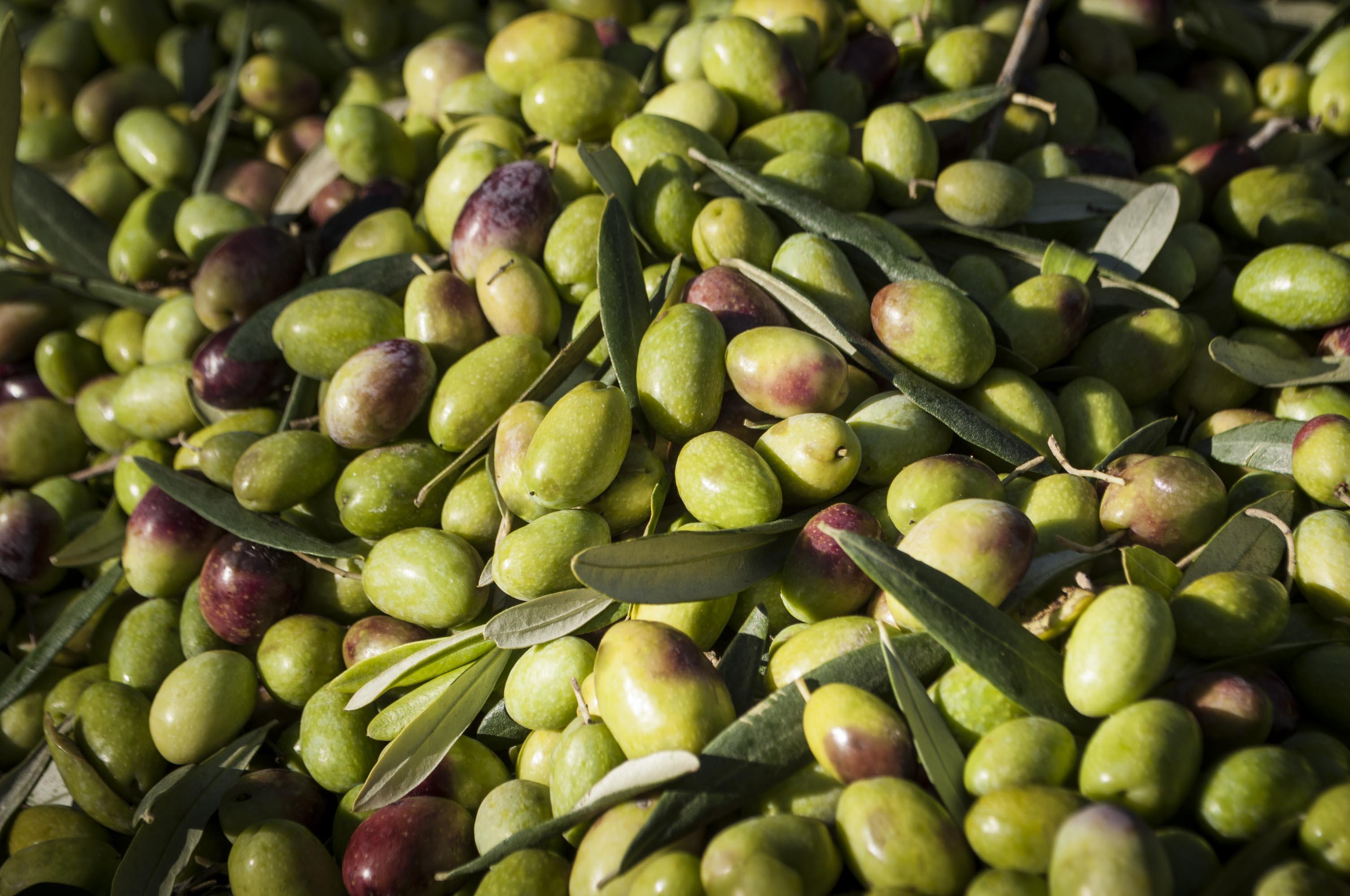 Olive Coratina bio