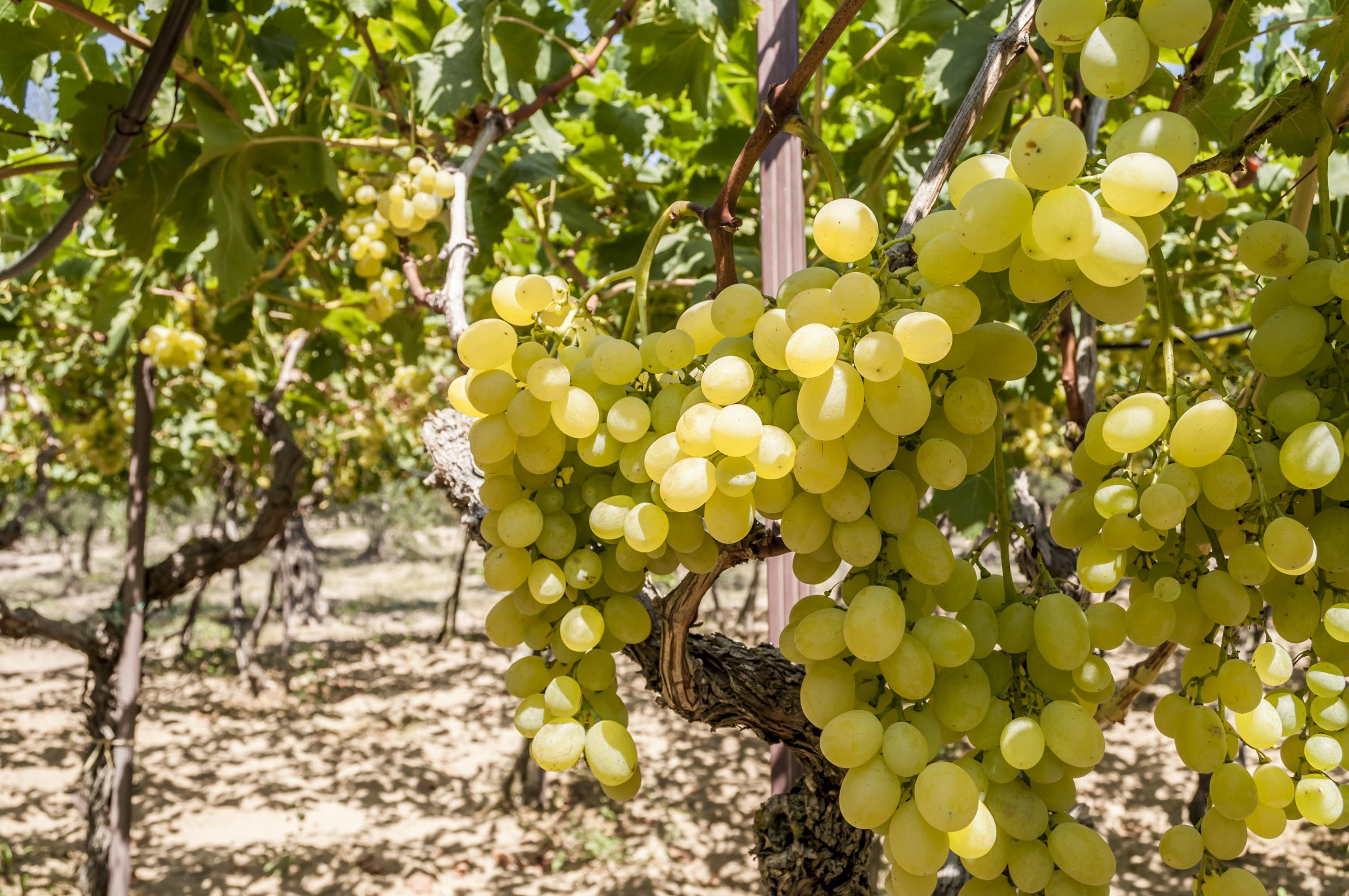 Grappoli d'uva bio